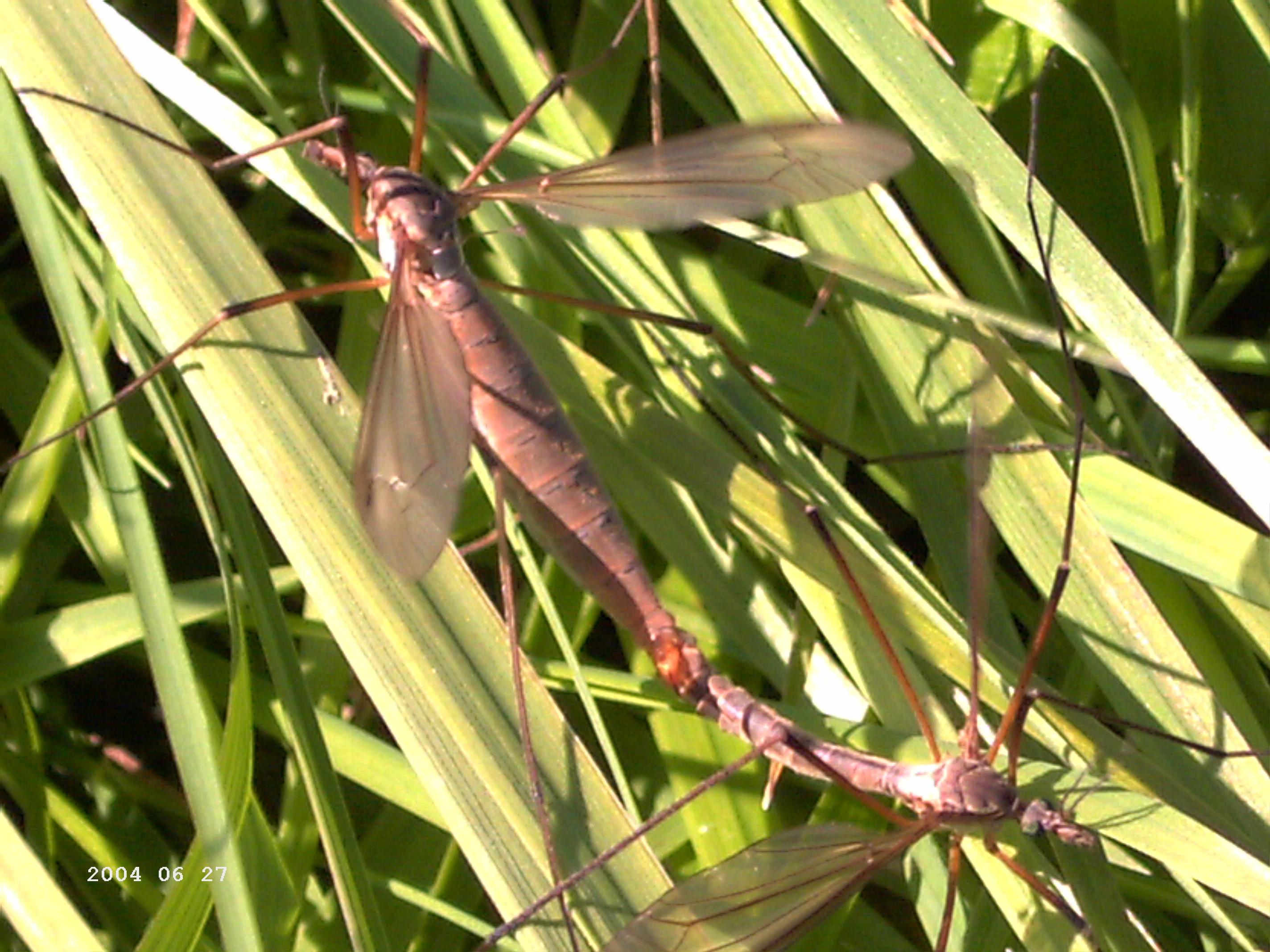 Paarungszeit der Libellen an der Kongeå