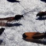 Trockenfliegen, Fliegenbinden, Fliegen binden